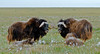 MO-2007.8.5#1071. A pair of cow Muskox guarding young ones on the Coastal Plain of the North Slope Alaska.