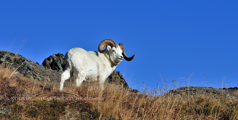 SD-2010.9.23#144-A Dall ram on a high ridge. Alaska Range Mountains, Alaska.