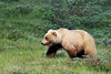 BG-2009.7.2#053. An almost true platinum blond Grizzly. A sow that has two cubs. Highway Pass, Denali Park Alaska.