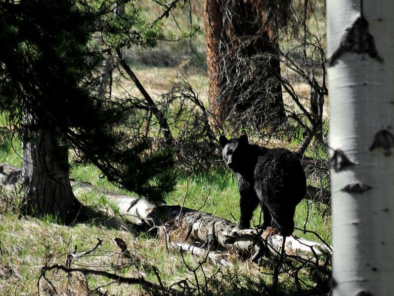 BB-2015.5.19#456. Black Bear. Old Bow Parkway, Rocky Mountains, near Banff,  British Colunbia Canada. Photo by Guy J.