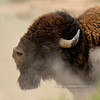 Bison. Rocky Mountains. #516.714. 1x1 ratio format.