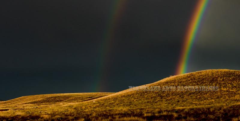 AP-2018.10.23#024. Pronghorn Antelope under a Rainbow. Yavapai County Arizona.