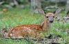 DW-2019.8.25#155.3. Whitetail fawn. Penn's Woods. Pennsylvania. Photo by Guy J.