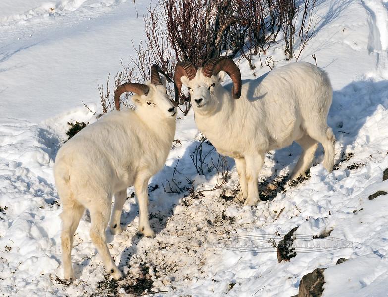 SD-2011.11.15#008-Dall Sheep. Chugach Mtn's.,Alaska.