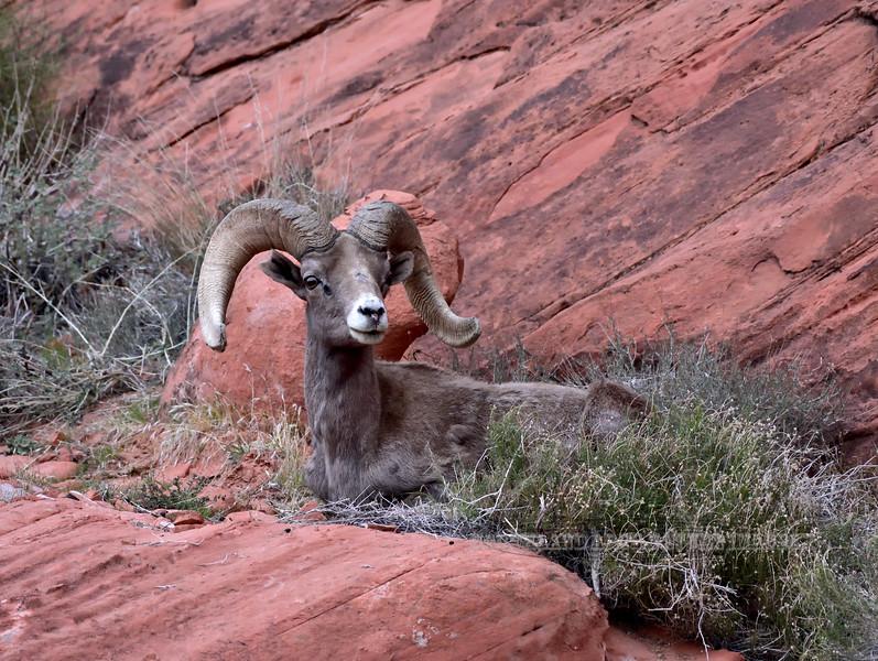 SBHD-2018.12.5c#141. A Desert Bighorn ram.