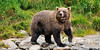 A truly extra large sow Brown bear. Enders Island, McNeil river, Alaska. #812.232. 1x2 ratio format.