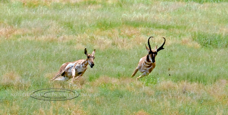 AP-2017.7.31#278.6X. Quite an event watching this Pronghorn buck chase the doe. Yavapai County Arizona.
