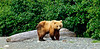 Brown Bear. McNeil River,Alaska. #811.087. 1x2 ratio format.