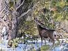 DM-2019.2.27#100. Mule Deer. Kaibab Forest Arizona.