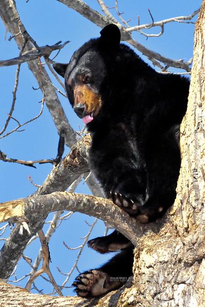 A Black Bear resting outside it's den in mid April. #418.138.