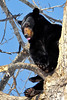 A Black Bear resting outside it's den in mid April. #418.138.