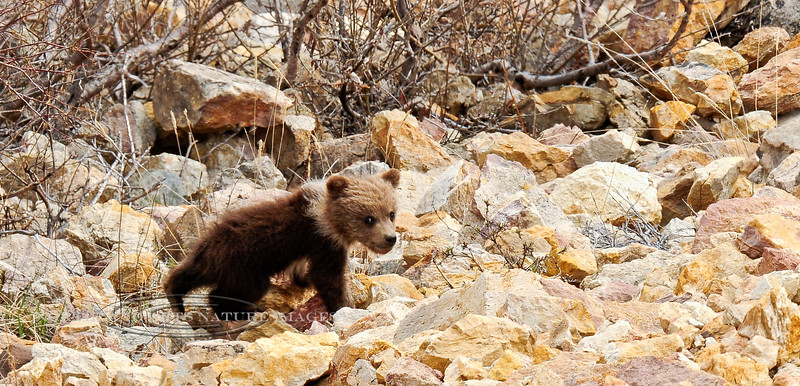 "A ""springer"" Grizzly cub. Alaska Range mountains, Alaska. #526.135. 1x2 ratio format."