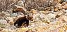 """BG-2012.5.26#135. A """"springer"""" Grizzly cub. Polychrome Pass, Denali Park Alaska."""