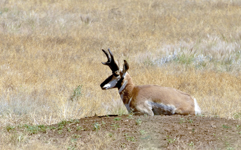 AP-2017.6.7#036.4Xx. A side view of the previous Pronghorn buck resting on the Prairie. Yavapai County Arizona.