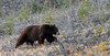 BB-2017.5.15#622.4. A pretty nice dark cinnamon Black Bear near Lower Post on the Alaska Highway, British Columbia Canada.
