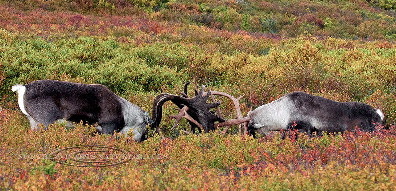 49-2012.8.21#259.5XXX. Two large bull caribou are sizing each other up with a sparring match. This is nothing like the fierce competition that will start in a couple of weeks. Denali Park Alaska.