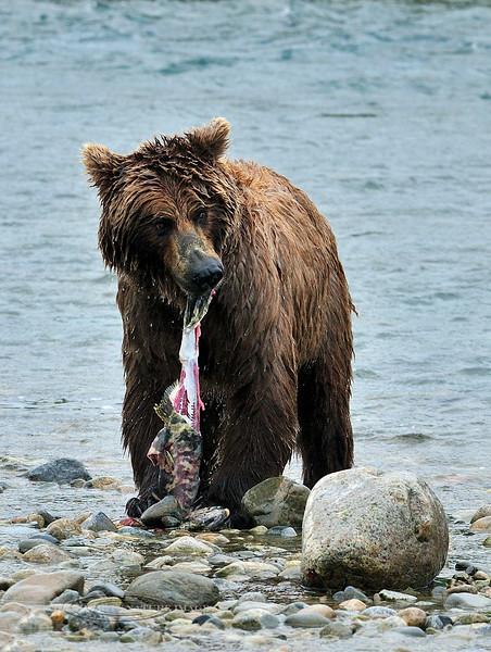BBR-2010.8.13#183-Coastal Brown bear. With a freshly caught Chum Salmon. Near Enders Island, McNeil River Alaska.