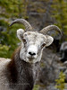 SS-2017.5.16#1021. A young ram. Stone Mountain east of Toad River, British Columbia Canada.