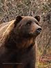 "Interior Grizzly bear striking a similar pose made famous by Artist Leon Prey of a legendary old bear named ""Old Eph"".  Alaska Range, Alaska. #917.032. 2x3 ratio format."