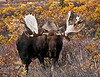 A large mature Alaska bull moose with unusual and unique antler formation. Denali country,Alaska. #912.099.