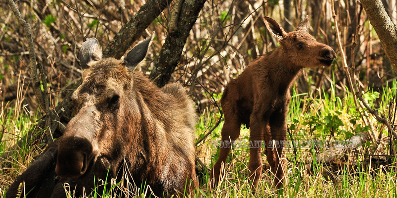 193-2011.5.20#023. A newborn Alaska moose calf. Kincaid Park, Anchorage,Alaska. A similar image in a 2x3 format of these same animals is viewable on page 3 of this gallery.