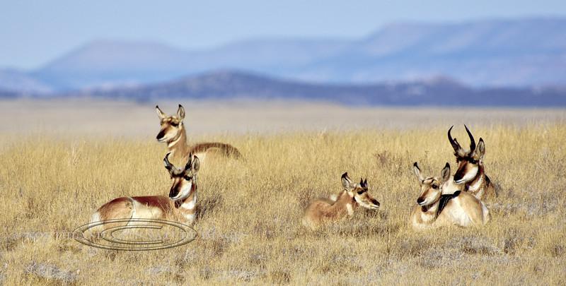 AP-2018.1.21#005. Pronghorn Antelope. Bucks with the weird little new horns. Yavapai County, Arizona.