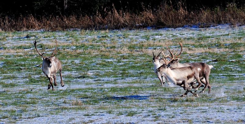 C-2012.10.22#317.3. A Kenai caribou bull trying to tend to his small group. Kalifonsky Beach Road, Alaska.