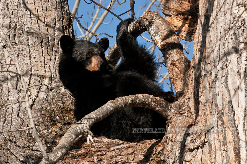 Black Bear. Soakin up the rays after a long winter in this cottonwood. Campbell Creek,Anchorage,Alaska. #412.130.