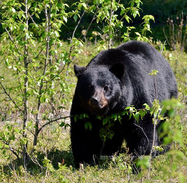 BB-2015.5.23#2531. Black Bear grazing sedge on a hillside along Icefields Parkway, British Columbia Canada.