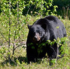 BB-2015.5.23#2531. Black Bear grazing sedge on a hillside along Icefields Parkway, British Columbia Canada.