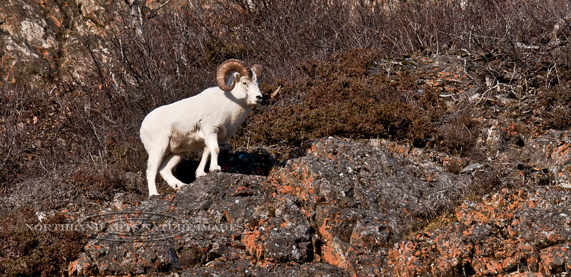 157-A large full curl Dall Sheep during the rutting period of late November. This ram is searching for ewes coming into estrus. Chugach mountains, Alaska. #1118.106.