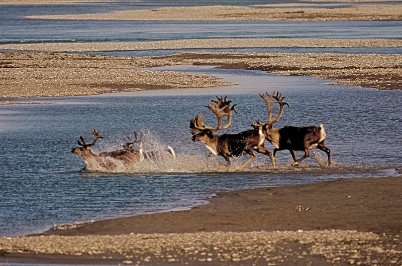 C-1987.8.15#310d. One of my favorite souvenier images from the old days in Alaska. A really great caribou bull with wide palmated tops aand double shovels with a group of lesser bulls crossing a side channel of the Sagavanirktuk River  just a little south of Deadhorse Alaska.