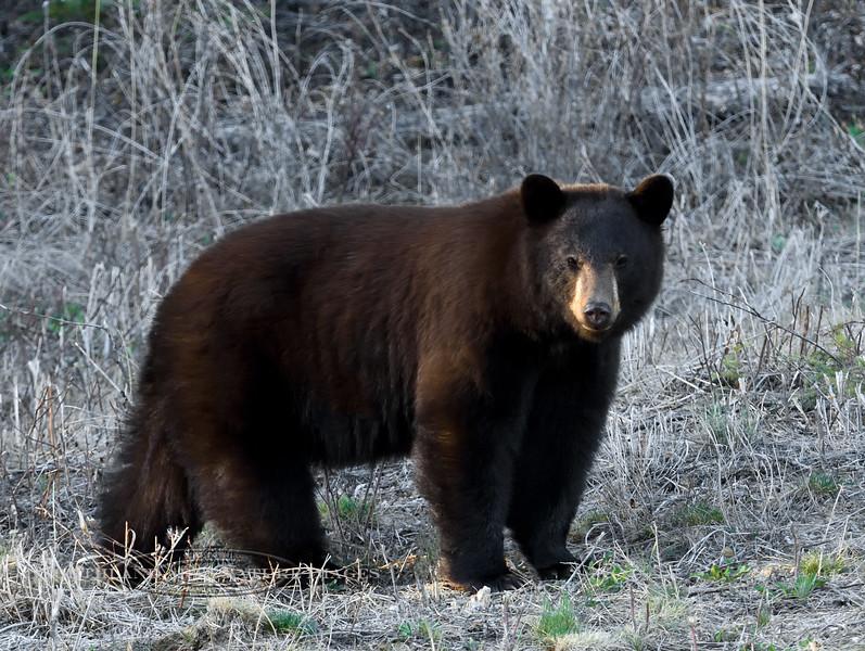 BB-2017.5.15#526. A young cinnamon phase Black Bear. Alaska Highway east of Dawson Creek, Yukon Territory Canada.