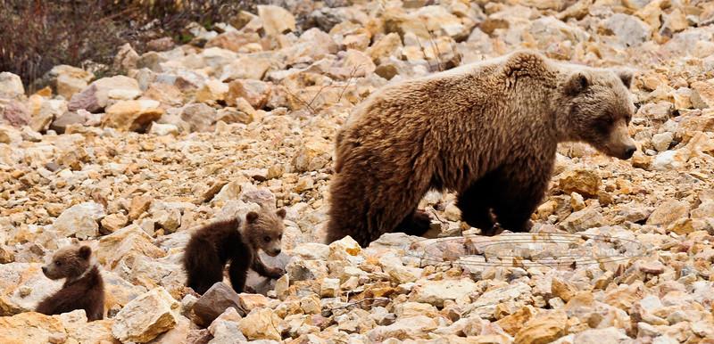 BG-2012.5.26#140. Interior Grizzly sow with spring cubs. Polychrome Pass, Denali Park Alaska.