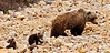 Interior Grizzly sow with spring cubs. Alaska Range Mtn's.,Alaska. #526.140. 1x2 ratio format.