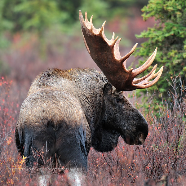 Alaska moose. An old bull from days of yore. Alaska Range, Alaska. #920.084. 1x1 ratio format.