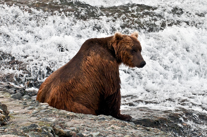 This Brown bear is resting in between fishing forays. McNeil River, Alaska. #812.107. 2x3 ratio format. A 1x2 ratio format of this image is available in the Brown/Grizzly bear section of this gallery.