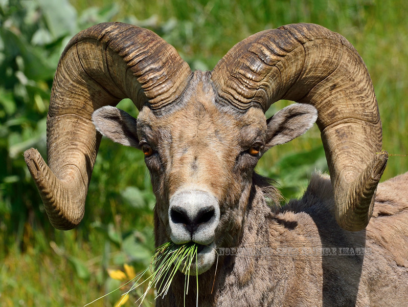 SBHRM-2015.5.17#1040. A Rocky Mountain Bighorn ram. Montana.