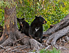 15-A Black bear sow & cub pose for a shot. Alaska Range, Alaska. #618.009.