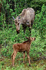 M-2016.6.12#300,3X. Moose, Cow and calf browsing on willows. Alaska Range, Alaska.
