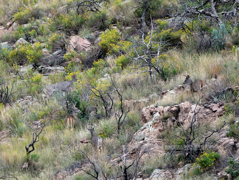 DC-2018.10.8#1331. Four Coues Whitetail bucks. Two really great bucks in the lower left hand third of the image are still in velvet. Arizona.