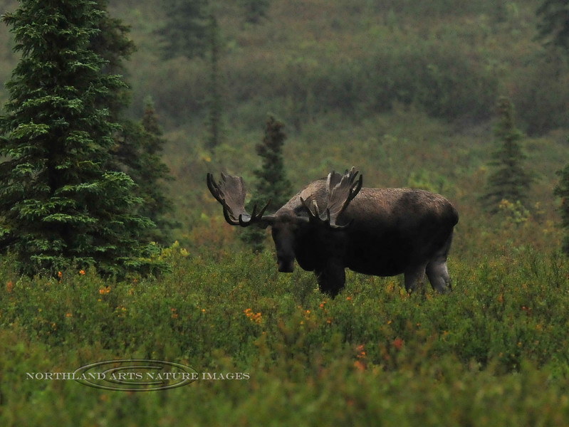 """M-4x4-2013.8.24#234-My most recent 2013 encounter with the bull moose from the previous image. A mature """"Grand Old"""" bull now! Unfortunately very late, close to dark during a foggy rain. Near  mile nine, Denali Park Alaska."""