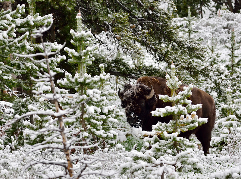 BP-2019.6.21#338. A Plains Bison bull up grazing early mourning after a night of late June snow. North of Hayden Valley, Yellowstone Park Wyoming.