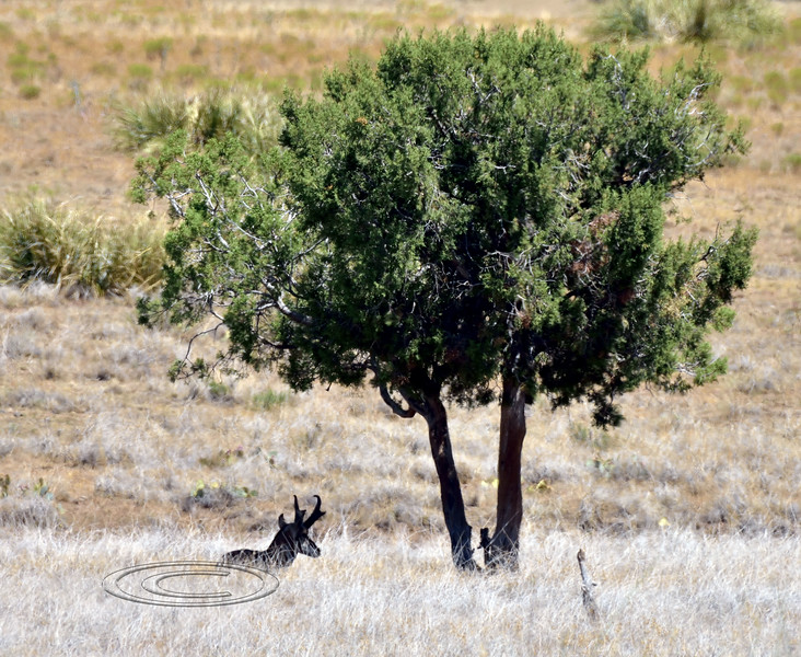 AP-2019.8.21#010. It was 101 degrees when i found this buck hangin in the shade of a Juniper. Mingus foothills, Yavapai County Arizona.