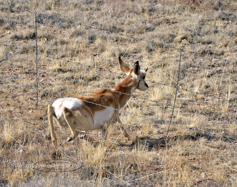 AP-2021.1.6#6888.1. A Pronghorn Antelope going under the smooth bottom wire. Yavapai County, Arizona.