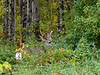 DM-2017.9.7#1287. Mule Deer. A small buck with blood stained antlers. Northeast of Hudson's Hope on the Peace River, British Columbia Canada.