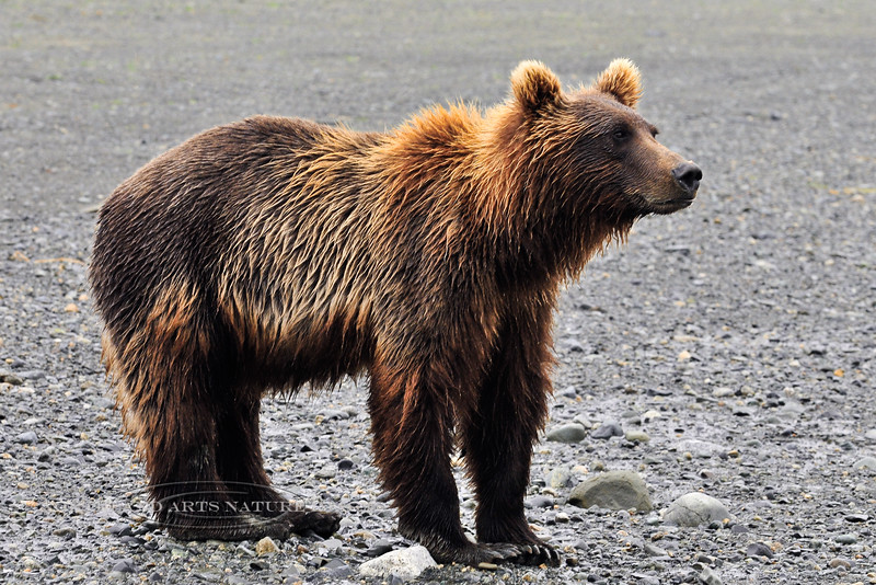 BBR-2010.8.13#008. A coastal Brown bear with  more color variation then the average bear. Camp area, McNeil River, Cook Inlet, Alaska.