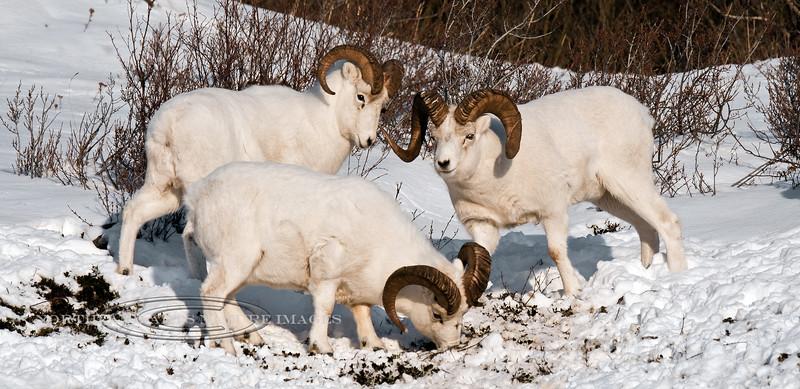 SD-2011.11.15#006-Dall Rams. Chugach Mtn's, Alaska.