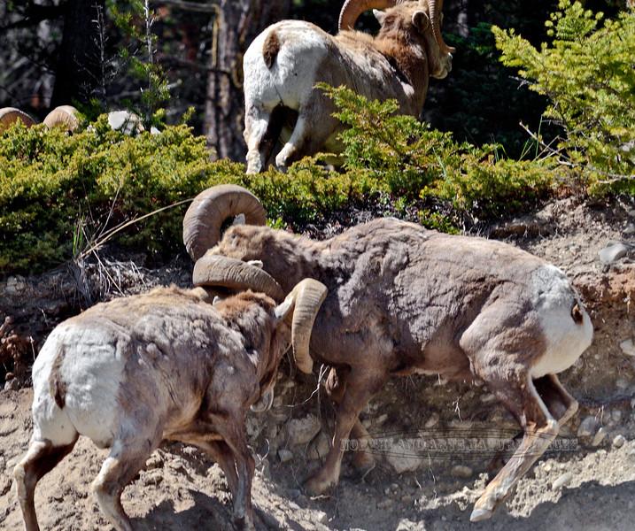 SBHRM-2015.5.19#1027.3. A subordinate ram testing the boss. Banff Nat. Park, Alberta Canada.