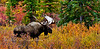 71-2010.9.4#277. A grand old bull moose. Tremendous antlers with palmated brows, deep wide palms and lots of points. Still feeding early in the pre rut. Savage country, Denali Park, Alaska.